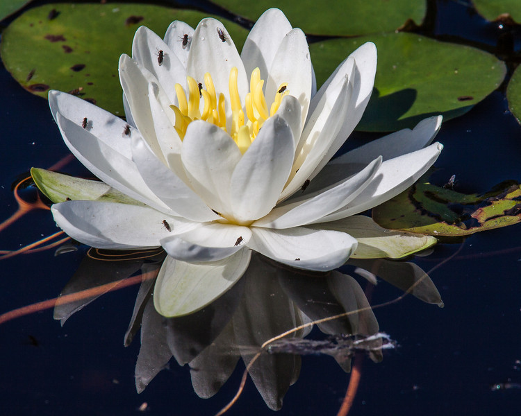 Fly party on a water lily