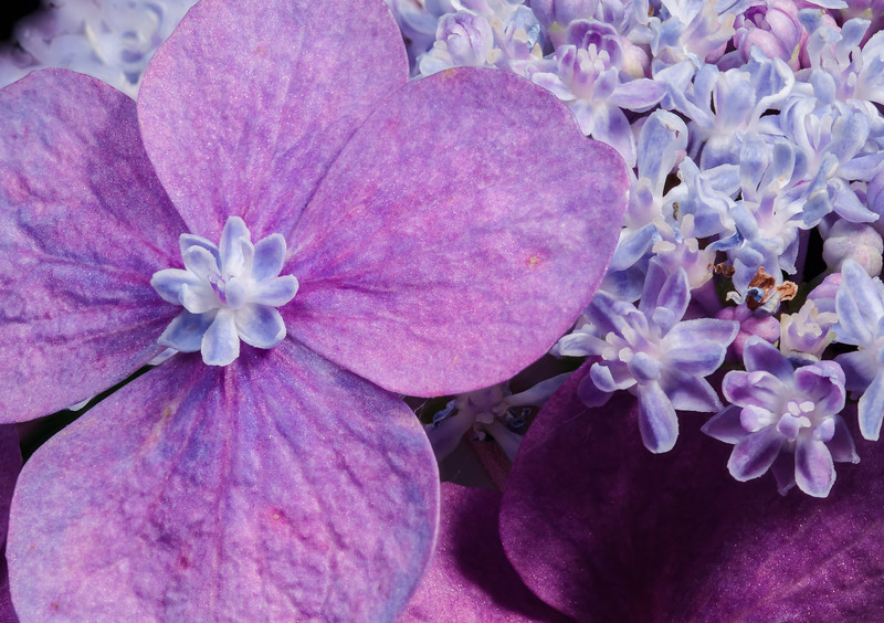 Two macro views of a lacecap hydrangea